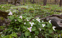 Trilliums on Forest Floor