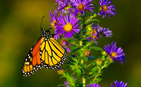 Monarch on Purple Aster