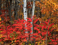Sumac and Birches