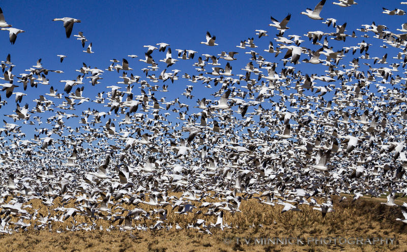 A Blizzard of Snow Geese