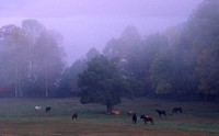 Horses in Fog Cades Cove